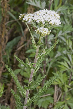 Photograph of the Yarrow plant