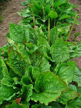 Photograph of Plantago Major