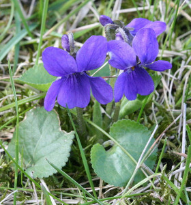 Photograph of Sweet Violets