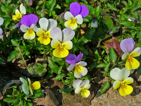 Photograph of a bed of Violets
