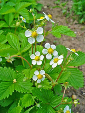 Flowers of the wild strawberry