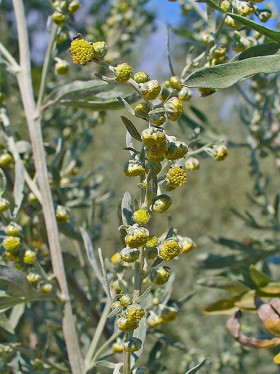 Close-up of flowering Wormwood
