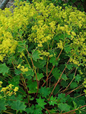 Photograph of Lady's Mantle herb