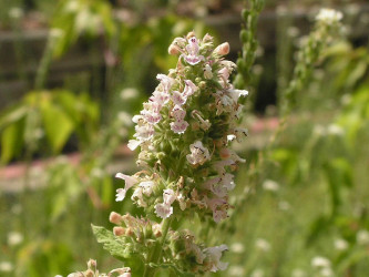 Flowering catmint
