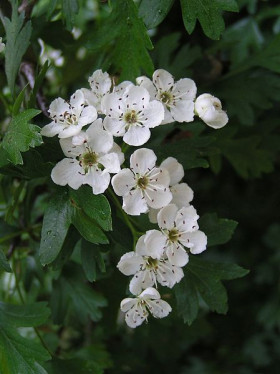 Close-up of white pink-centred Hawthorn flowers