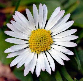 Close-up of daisy head