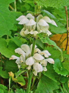 Photograph of White Deadnettle flowers