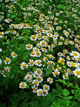 A bed of Feverfew in bloom