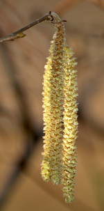 Close-up of catkins on a hazel tree