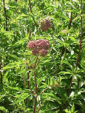 Leaves and tlowering head of Hemp Agrimony