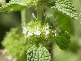 Image of White Horehound flower spike