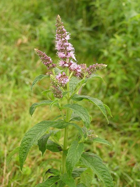 Photograph of Horsemint flower spike