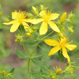 Close-up of te flower of St John's Wort