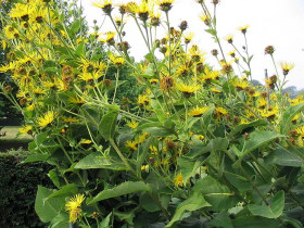 Photograph of clump of Inule helenium