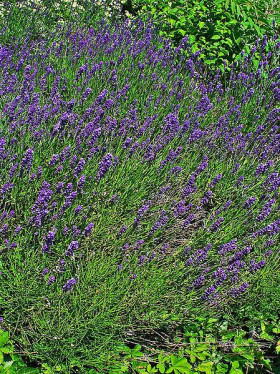 Photograph of Lavender in a garden bed