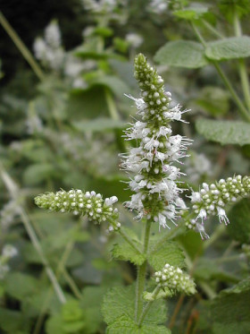 Photograph of flowering head of Mentha suaveolens