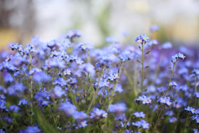 Drift of blue Forget-me-Nots