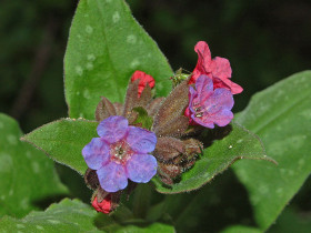 Close-up of the Lungwort flower