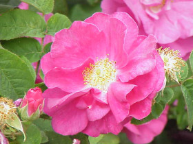 Photograph of Rosa Gallica officinalis