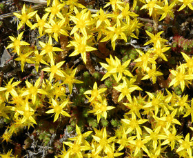 Photograph of bright yellow flowers of Biting Stonecrop plant