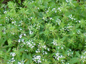 Photograph of Sweet Woodruff